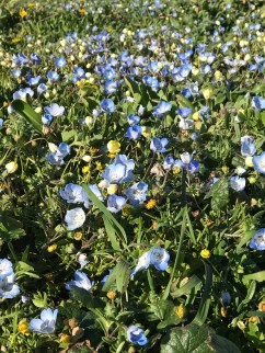 Wildflowers on the Fort Bragg Bluffs