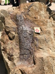 Dinosaur Bone in Rock at Dinosaur Ridge Park