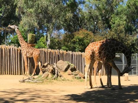 Giraffes at the Sacramento Zoo