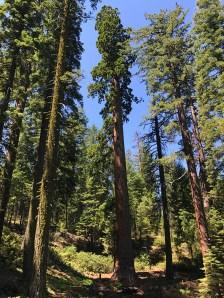Grove of Giant Sequoias