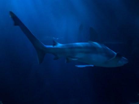 Sharks in the Deep Ocean
