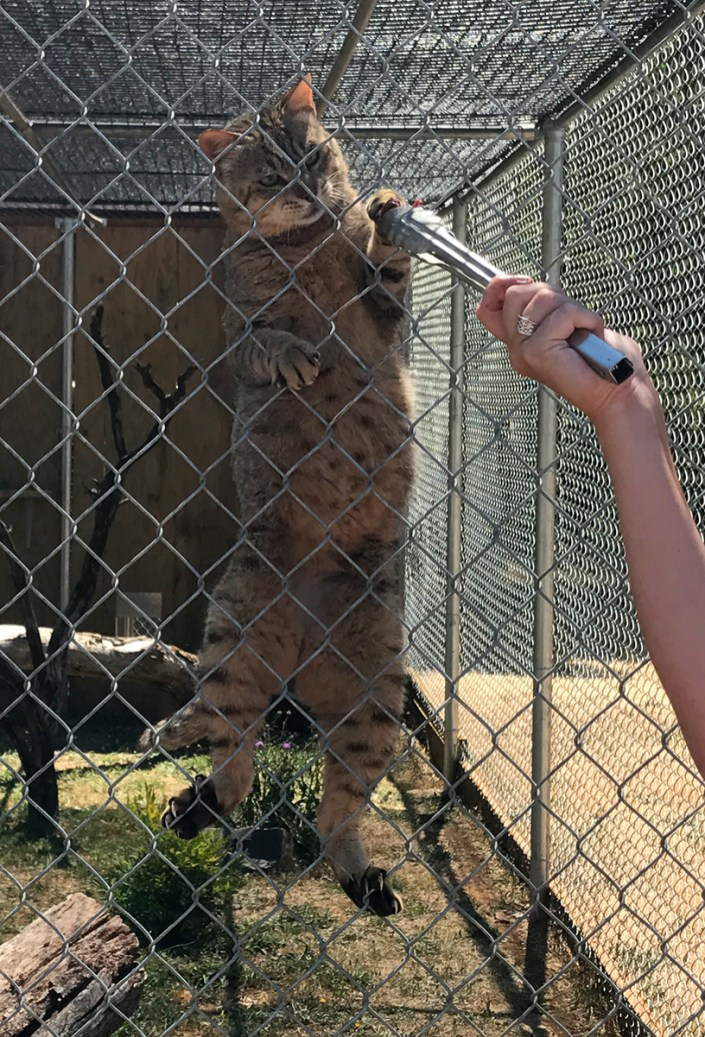 Geoffroy's Cat Climbing the Fence