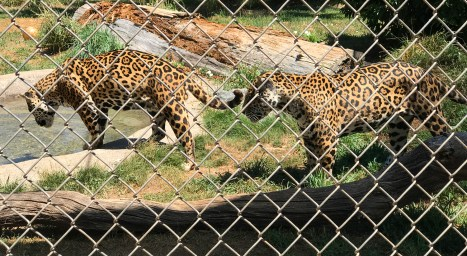 Jaguars at Great Cats World Park