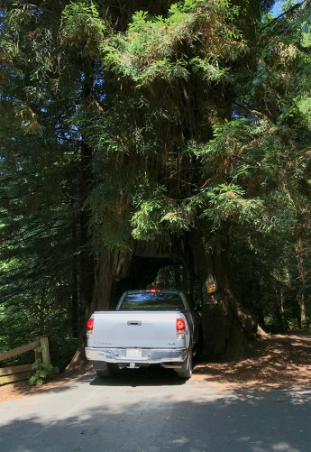 Drive Through a Giant Redwood Tree