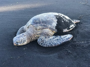 Sea Turtle Sleeping on a Black Sand Beach in Hawaii