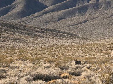Wild Donkey In Death Valley