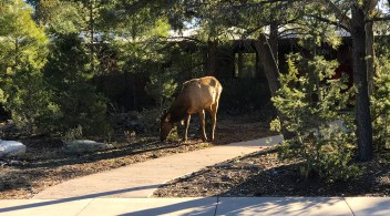Elk At The Yavapai Lodge