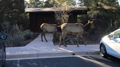 Elk Walking Through The Yavapai Lodge Grounds