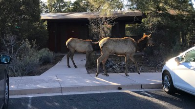 Elk Walking Through The Yavapai Lodge Grounds