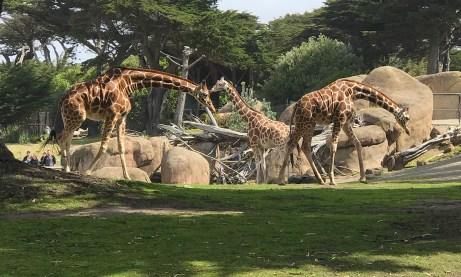 Giraffes at the San Francisco Zoo