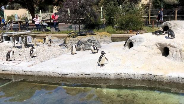 Penguins at the San Francisco Zoo