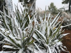 Snow Covered Plants at Grand Canyon