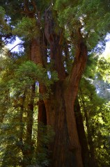 Santa Cruz Coastal Redwood