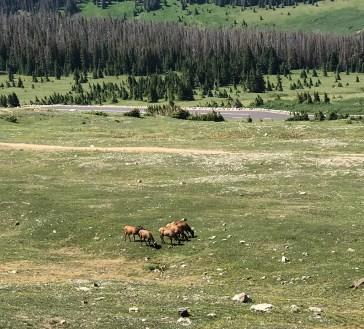 elk-grazing-alpine-tundra