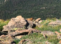 Marmots At Forest Canyon Overlook