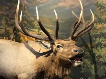 Elk Display at the Cripple Creek Heritage Center