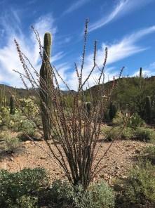 Beautiful Flowering Cactus at Saguaro National Park