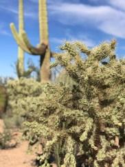 Cholla Cactus in front of a Saguaro Cactus