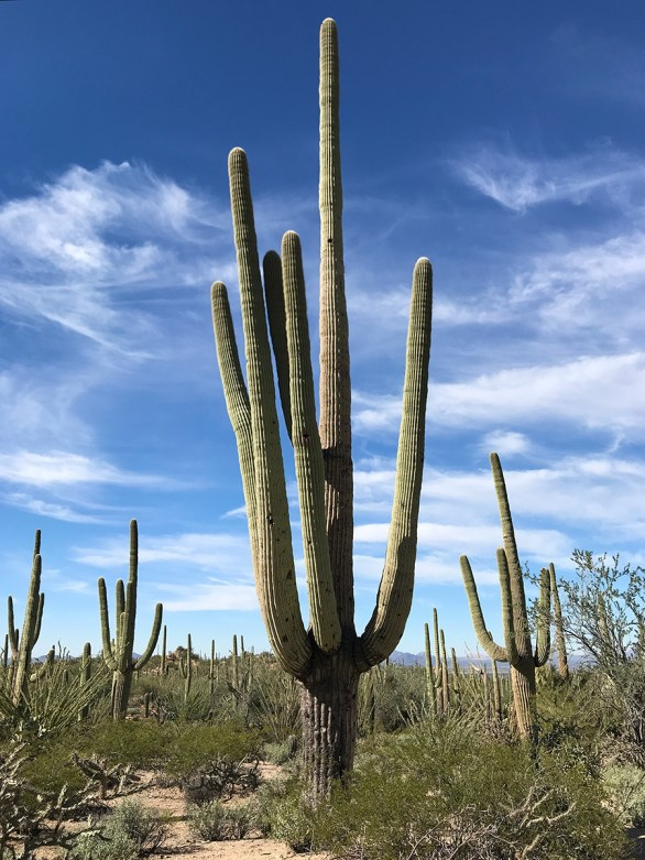 Saguaro Cacti in the Sonoran Desert of Arizona