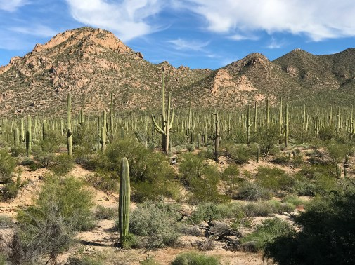 Saguaro Cactus Forest View From Red Hills Visitor Center Back Porch