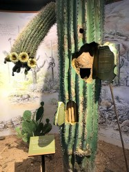 Saguaro Cactus Exhibit at the Rincon Mountain Visitor Center