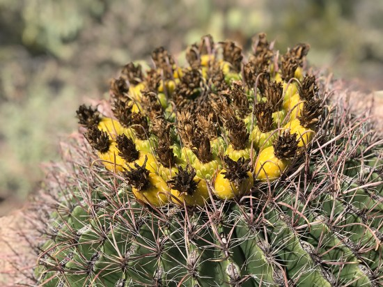 Yellow Cactus Fruit