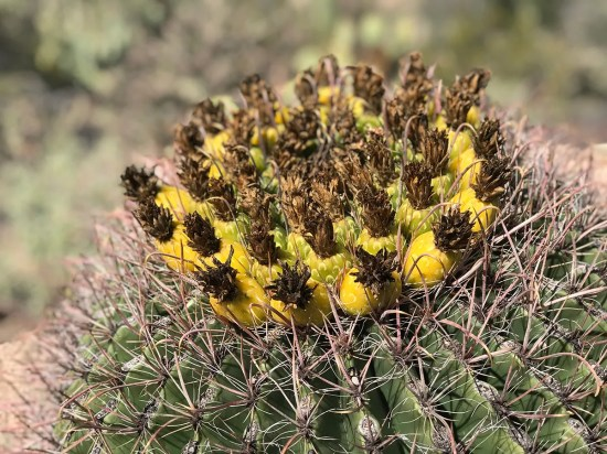 Yellow Cactus Fruit