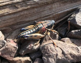 Giant Bug in Big Bend National Park