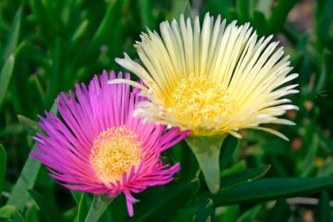 Pink and Yellow Ice Plant Flowers