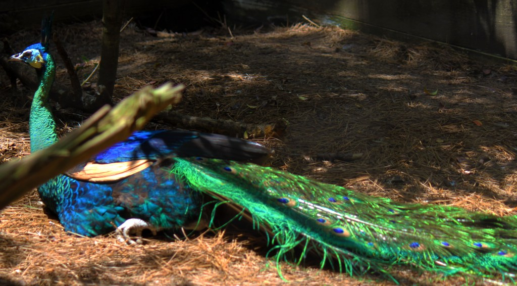 Sylvan heights bird park - Majestic peacock