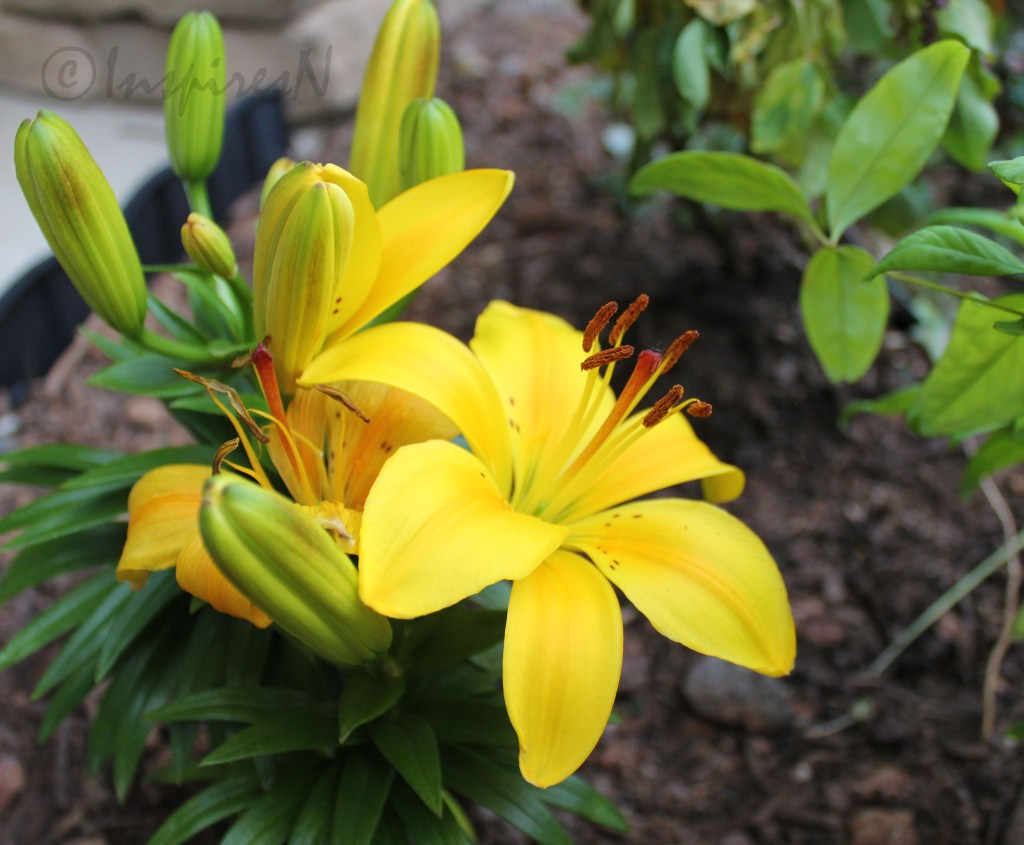 Yellow Asian Lilies