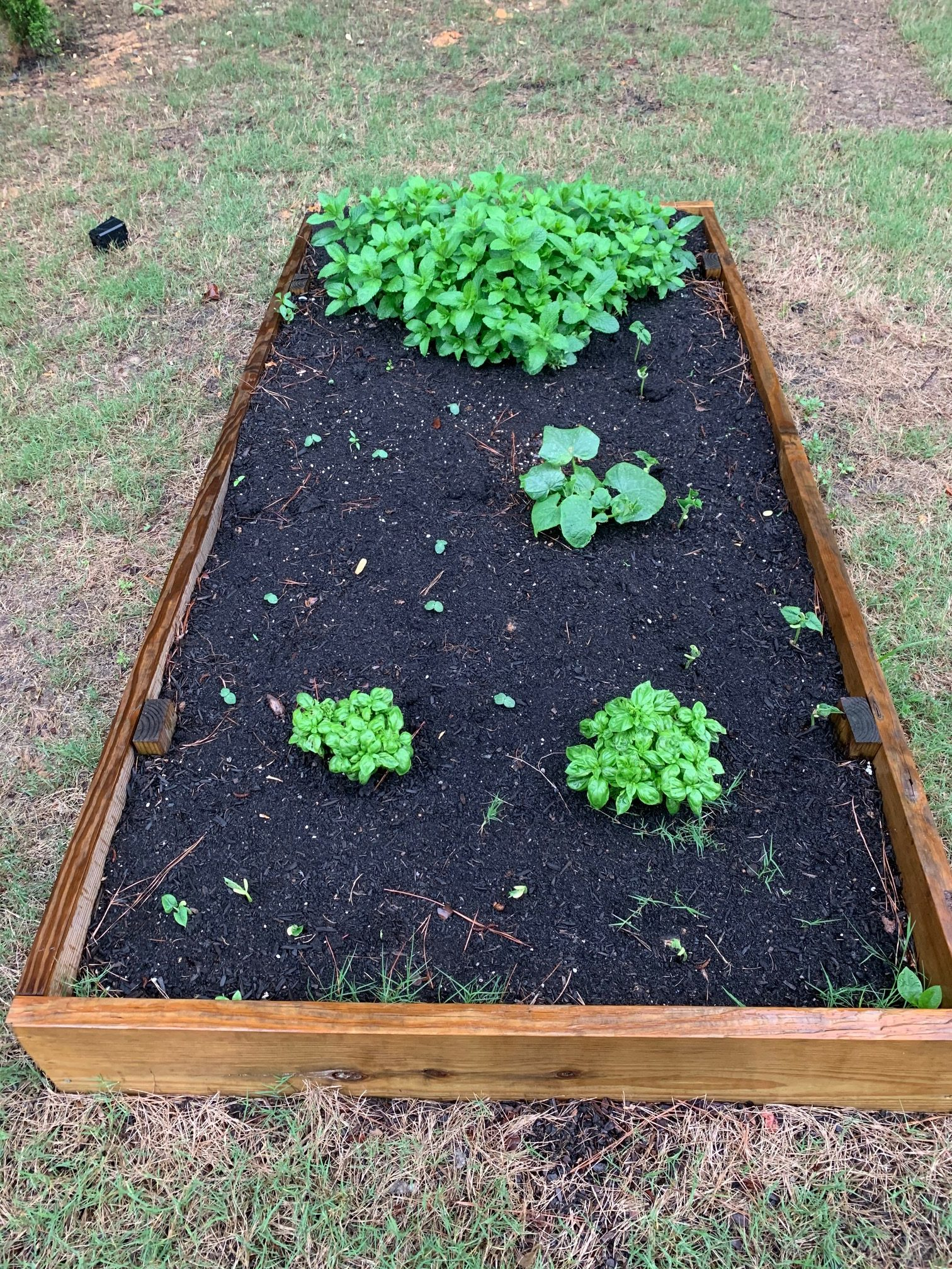 Garden bed with mint, sweet basil, cucumber and the little sprouts from beans and okra