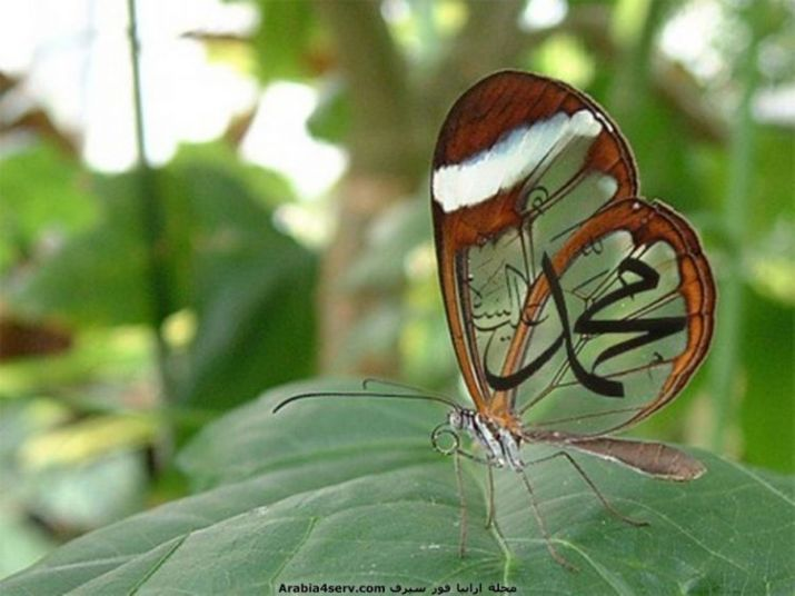 wallpaper kaligrafi muhammad pada kupu-kupu