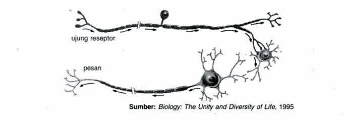sel saraf motoris