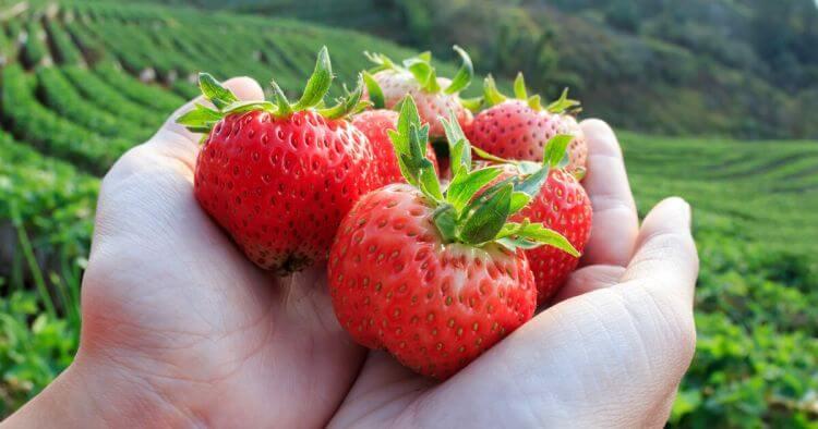 gambar buah straberry