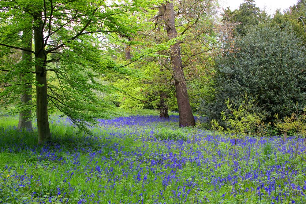 Bluebells in Kew Gardens (3/3)