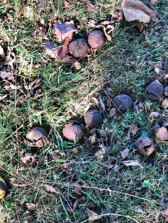 Image of black walnuts on the ground in Wythe County, Virginia