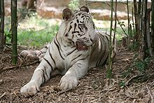 220px white tiger bangalore P6ukA 32853