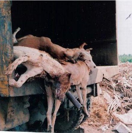 bangalore dogs122 26