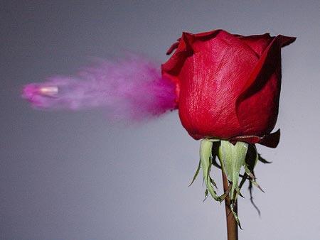 bullet rose OQxbc 16298