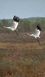 cranes nBktk 18163