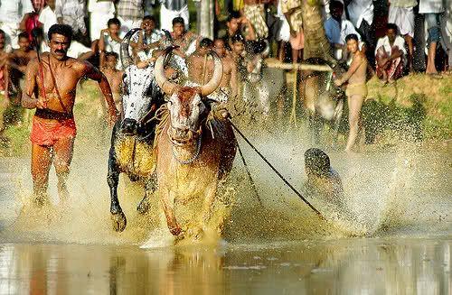 Maramadi is the traditional bull racing event of Kerala