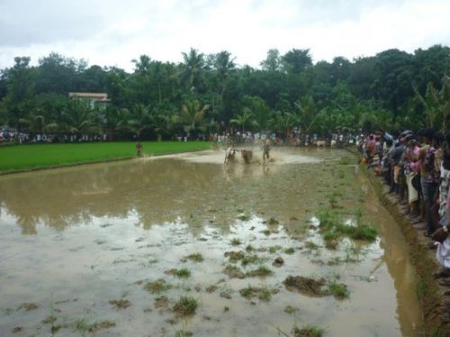 Maramadi takes place in flooded paddy fields