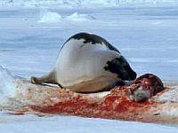 seal fur 18