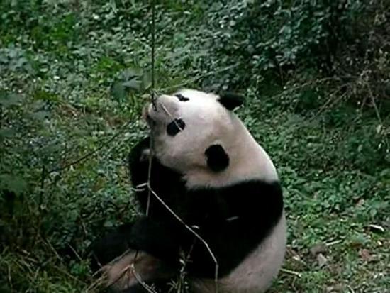 seek4 pandas playing 640x480ogv YCr72 32853
