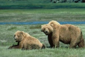 Grizzly_bears_animal_wildlife