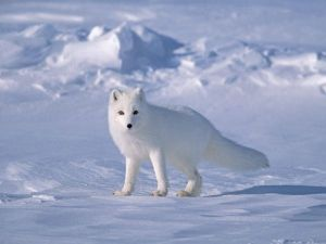 Arctic Fox on Sea Ice, North Slope Near Arctic Ocean, Alaska