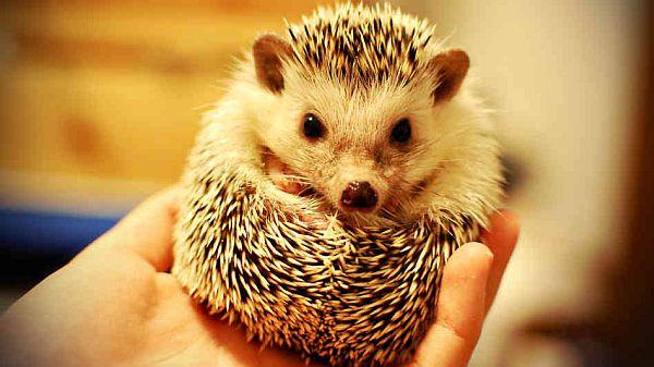 hedgehog_wide-9b130e336eebbee123bf3aebf8865173b1e9b4f4-s6-c30