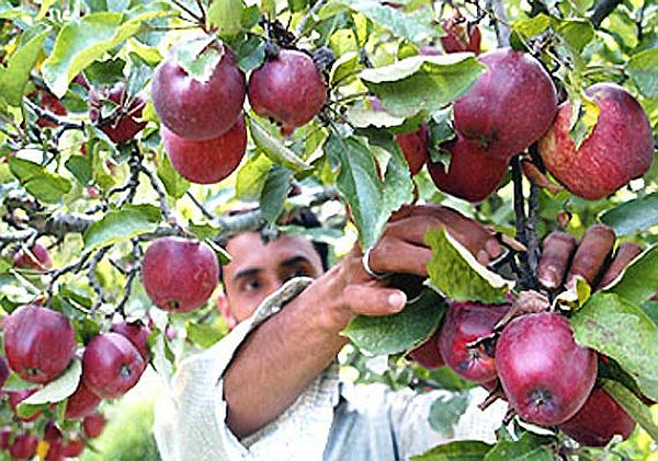 Apple production in Himachal
