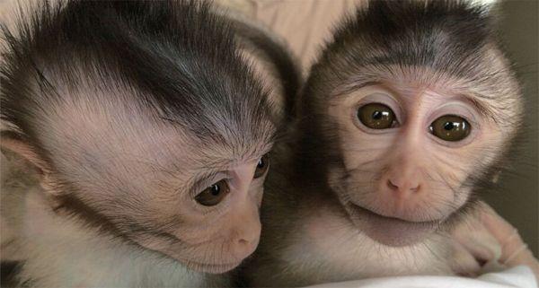 Monkeys with a human autism gene